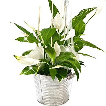 Peace Lily Bucket: Plants in Germany