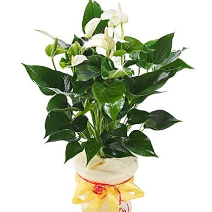 White Anthurium Pot: Plants in Germany