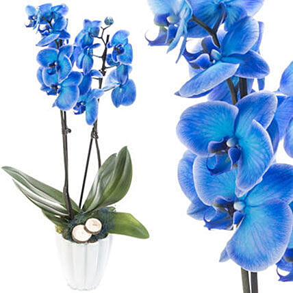 Enchanting Blue Orchids In White Pot: Plant Delivery in Germany