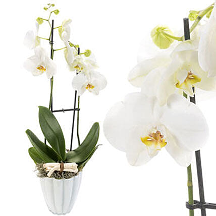 Enchanting White Orchids In White Pot: Plants in Germany