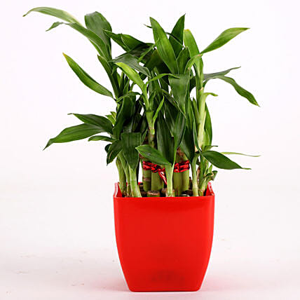 2 Layer Bamboo Plant In Red Melamine Pot: Spiritual Plant