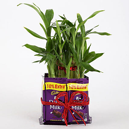 2 Layer Lucky Bamboo With Dairy Milk Chocolates: Lucky Bamboo Plants