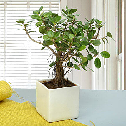 Attractive Ficus Iceland Bonsai Plant: Gift Ideas