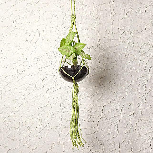Attractive Hanging Syngonium Plant Terrarium: