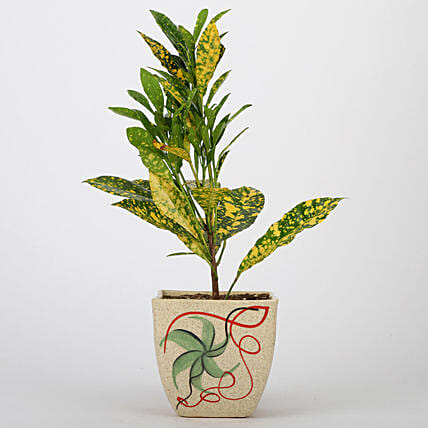 Baby Croton Plant In Printed Ceramic Pot: Exotic Plants