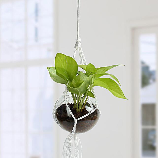 Beautiful Golden Pothos Hanging Terrarium: Hanging Plants