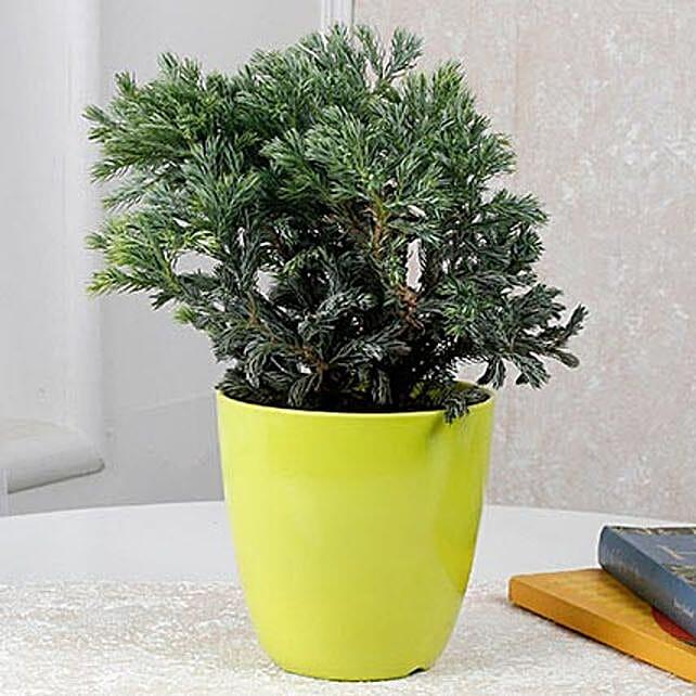 Bushy Juniper Plant: