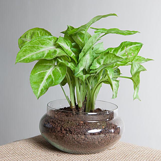 Classic Syngonium Golden Plant Terrarium: Send Good Luck Plants