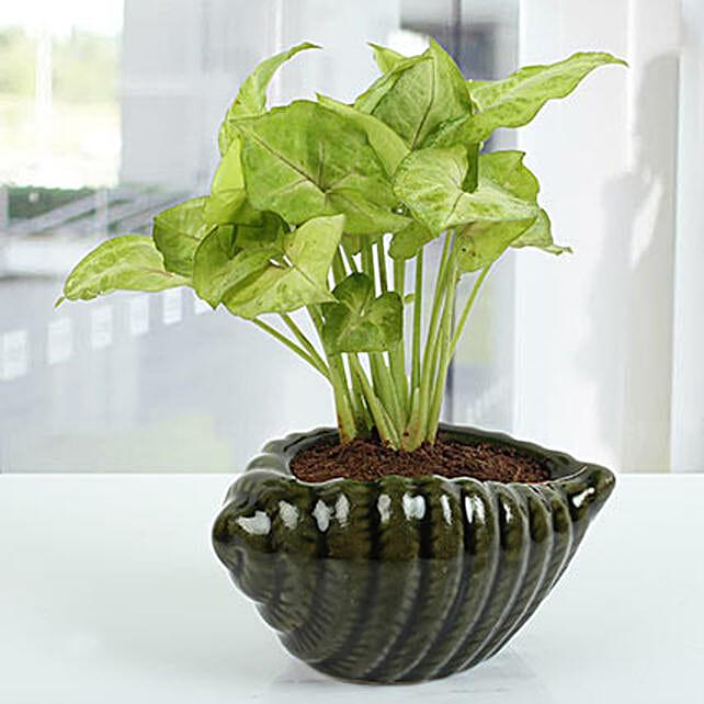 Dark green Shell Syngonium Plant: Outdoor Plants