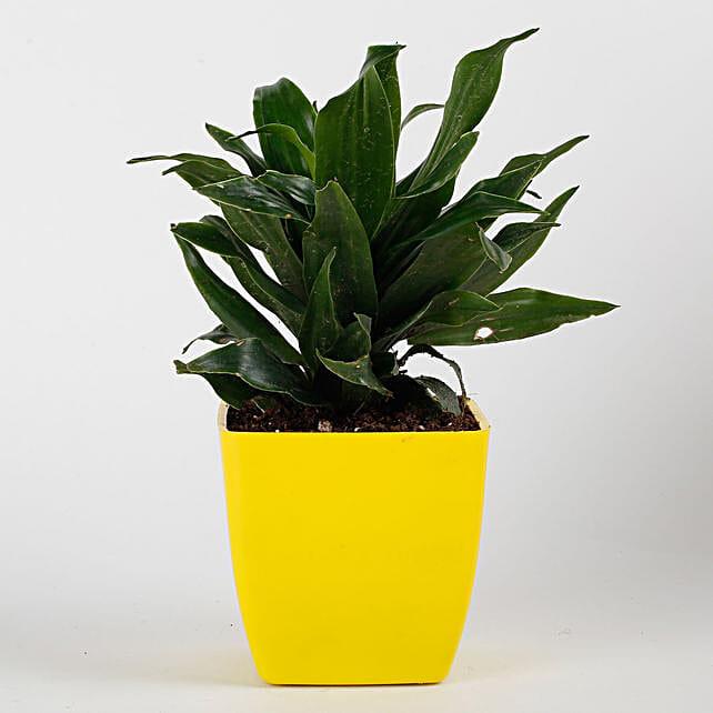 Dracaena Compacta Plant in Yellow Imported Plastic Pot: Send Shrubs