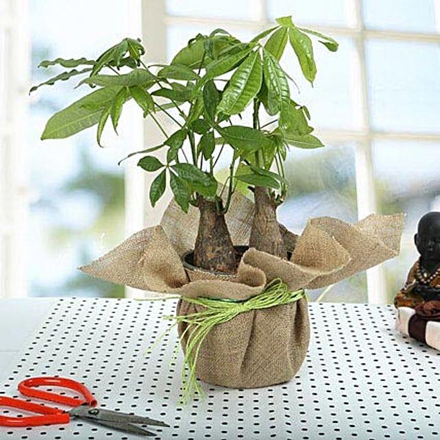 Enchanting Pachira Bonsai Plant: Rare Plant Gifts