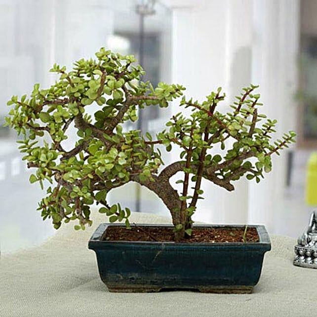 Fabulous Jade Bonsai Plant: