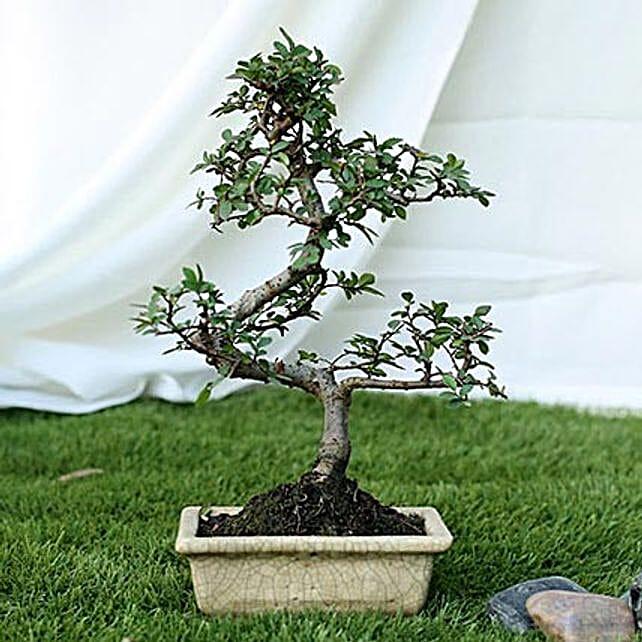 Fashionable Ulmus S Shape Bonsai Plant: Rare Plants