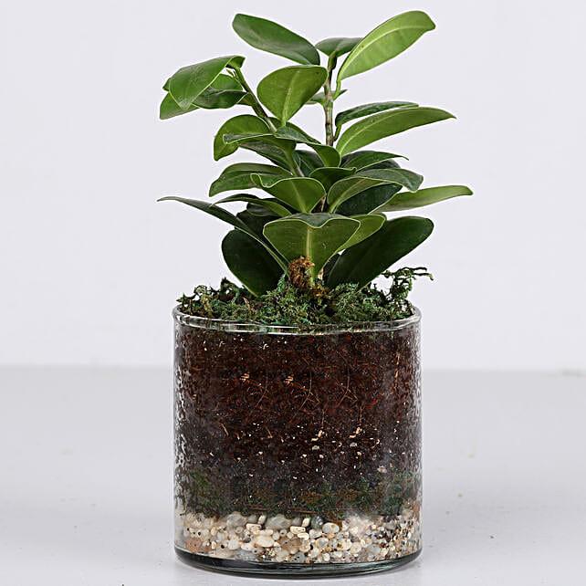"Ficus Compacta Plant 4"" Cylinder Glass Terrarium:"