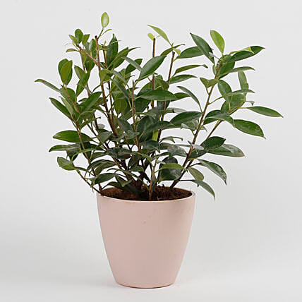 Ficus Green Plant in Recycled Plastic Conical Pot: Exotic Plant Gifts