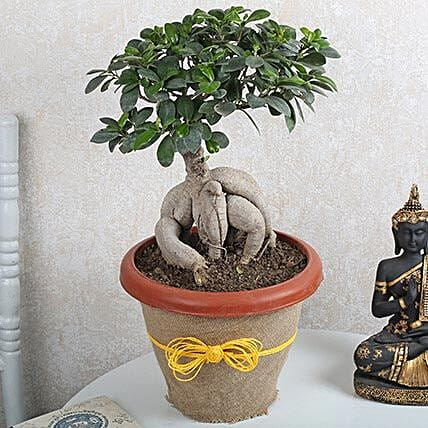 Ficus Microcarpa Bonsai 1000gm: Bonsai Plants