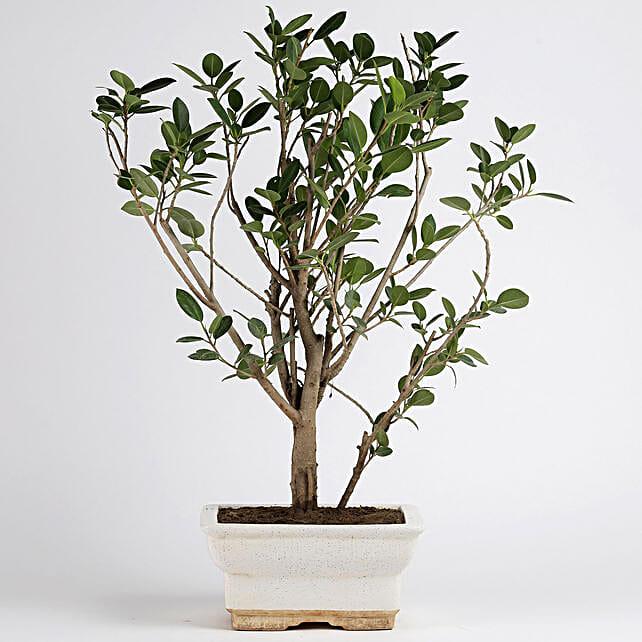 Ficus Panda Plant in White Ceramic Pot: Bonsai Plants
