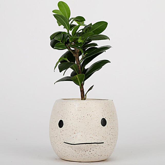 Ficus Plant In Cream White Ceramic Pot: Air Purifying Plants