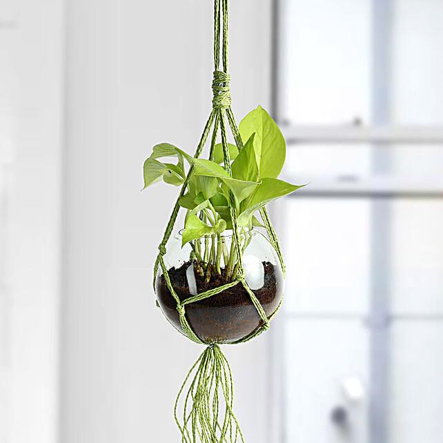 Golden Pothos Hanging Terrarium Plant: