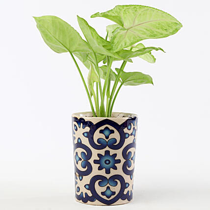 Golden Syngonium In Blue Ceramic Pot: Gifts to India