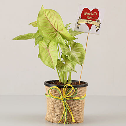 Golden Syngonium Plant For Husband: Send Karwa Chauth Gifts for Husband