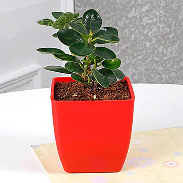 Gorgeous Ficus Compacta Plant: Send Gifts for Dussehra