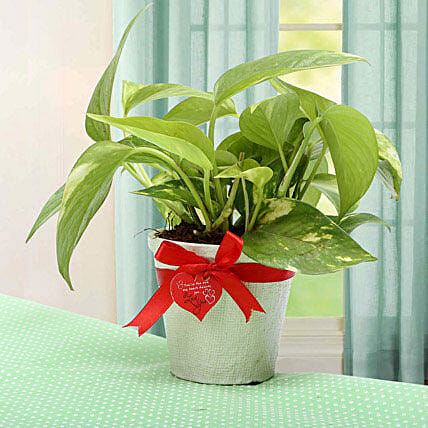 Grab The Luck Money Plant: