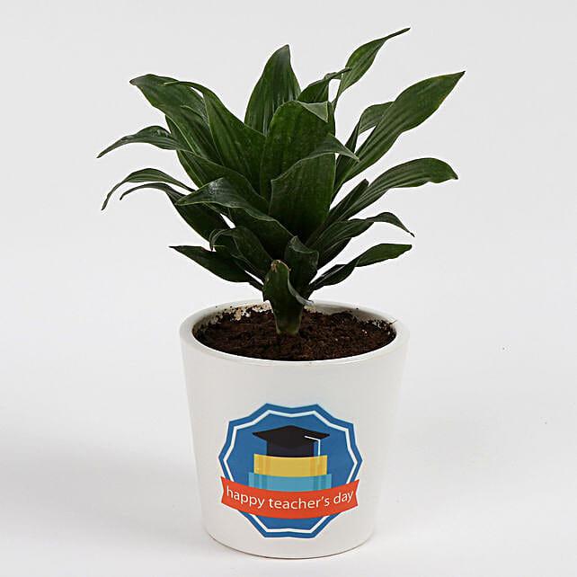 Green Dracaena Compacta Plant: