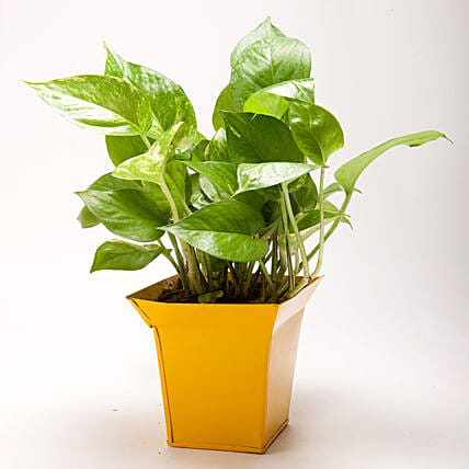 Green Money Plant in Bucket Shaped Metal Pot: Pots and Planters