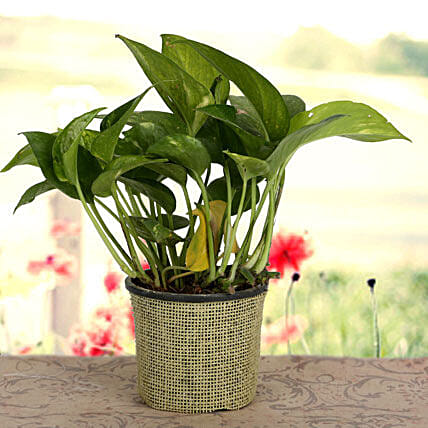 Growing 24x7 Money Plant: Hug Day Gifts