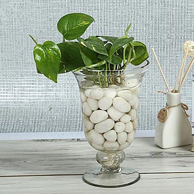 Intensifying Money Plant Terrarium: Good Luck Plants