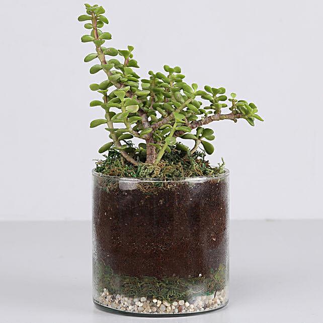 "Jade Plant 4"" Cylinder Glass Terrarium:"