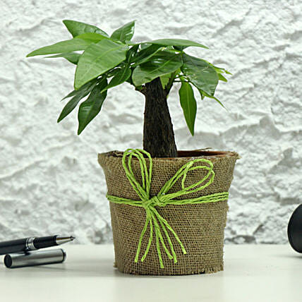 Lucky Money Tree: Bonsai Plants