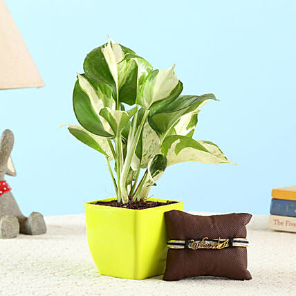 Marble Queen Money Plant & Friendship Band: Bonsai Plants