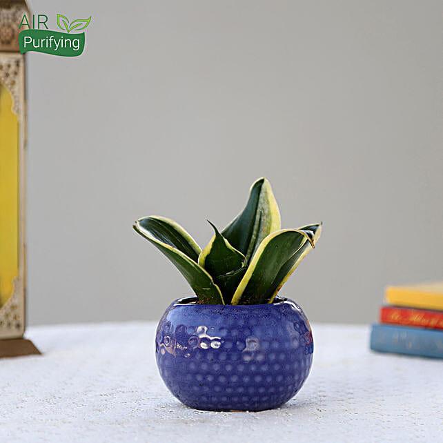 MILT Sansevieria Plant In Designer Blue Ceramic Pot: Succulents and Cactus Plants