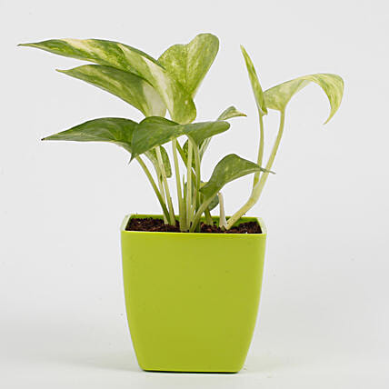 Money Plant in Imported Plastic Pot: Tropical Plant Gifts