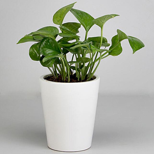 Money Plant in White Ceramic Pot: Money Tree