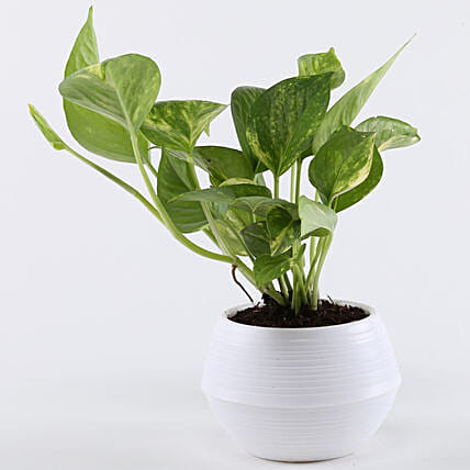 Money Plant In White Pot: Gifts to India