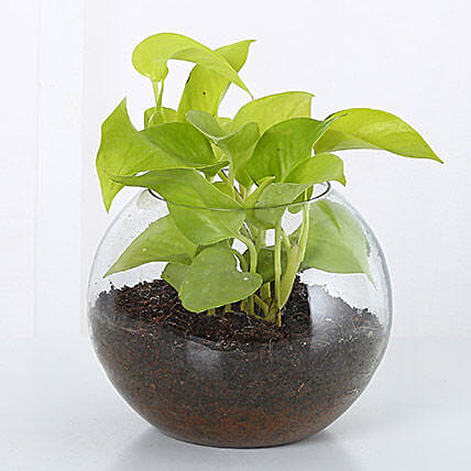 Money Plant Terrarium: Doctors Day Gifts