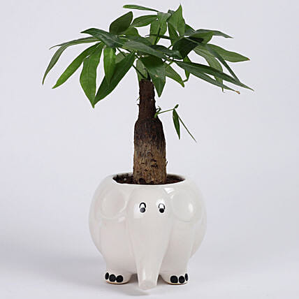 Pachira Bonsai in Elephant Ceramic Pot: Good Luck Plants