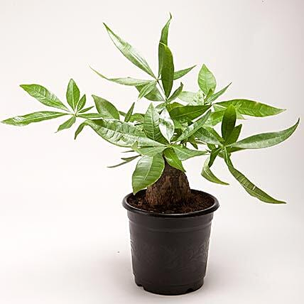 Pachira Bonsai Plant in Black Plastic Pot: Bonsai Plants