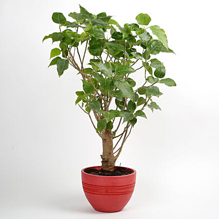 Paras Peepal Bonsai Plant in Recycled Plastic Pot: