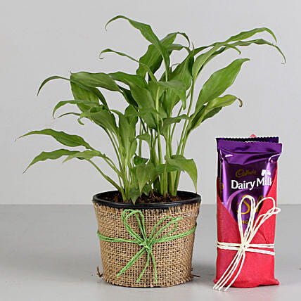 Peace Lily Plant & Dairy Milk Silk Chocolates: Cadbury Chocolates