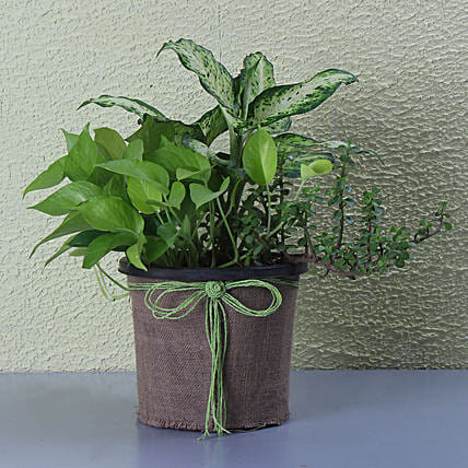 Pothos And Ovata Dish Garden: