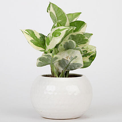 Pothos Plant In White Ceramic Designer Pot: Money Tree