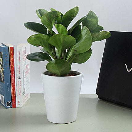 Potted Peperomia Plant: Ornamental Plant Gifts