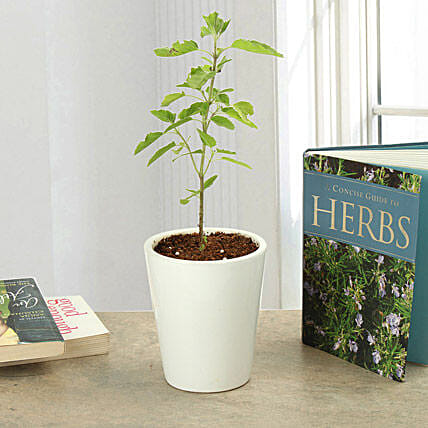 Potted Tulsi Plant: Herbs and Medicinal Plants
