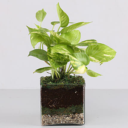 """Scindapsus Gold King Plant 4"""" Glass Terrarium: Gifts to India"""