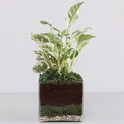 "Scindapsus N'Joy Plant 4"" Glass Terrarium: Terrariums Plants"