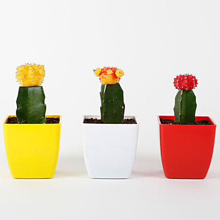 Set of 3 Grafted Cactus Plants: Cactus and Succulents Plants